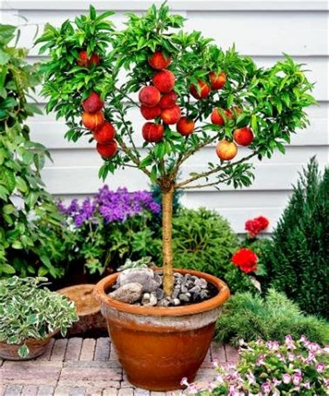 mini fruit trees the best fruit trees to grow in pots fruit