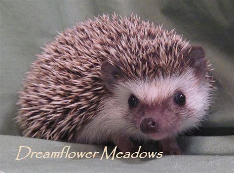 Dreamflower Brown hedgehog colors dreamflower