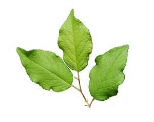 mexican plum leaf great trinity forest of dallas texas
