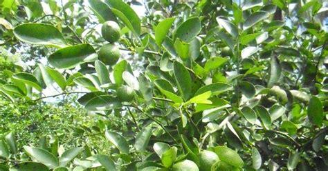 menanam jeruk hidroponik tips cara menanam jeruk purut dan jeruk nipis agar berbuah