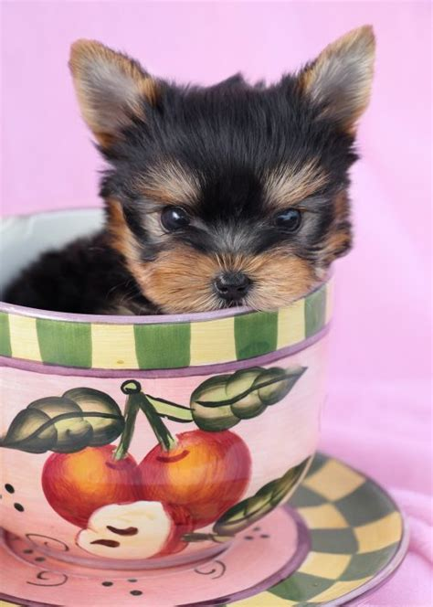 micro teacup yorkie puppy for sale teacup yorkies for sale by teacups puppy boutique teacups puppies boutique