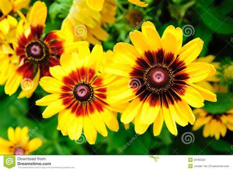 imagenes flores grandes grandes flores amarelas vibrantes fotografia de stock