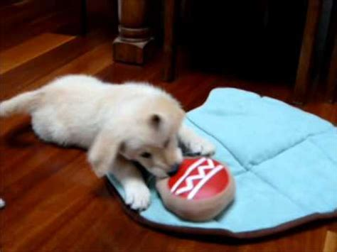 how fast do puppies grow how fast do puppies grow this fast 7 to 10 weeks