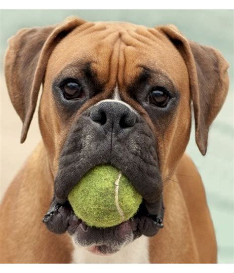 boxer puppies in ohio boxer for sale boxer puppies pedigree available in surbiton for sale boxer