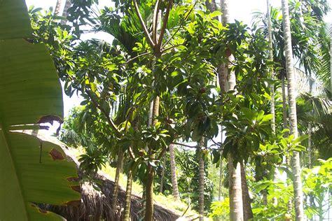 description of a tree file papaya tree jpg