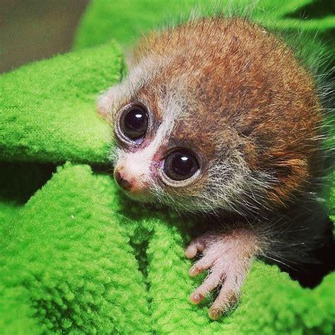 baby lemur baby lemur wants your love so much aww