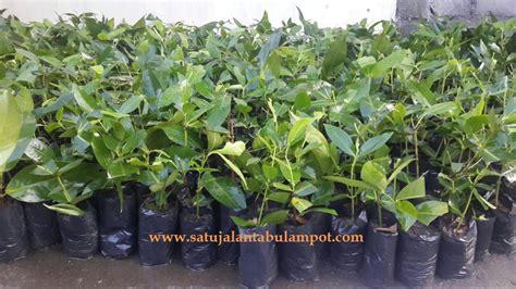 Bibit Rambutan Rapiah Di Bogor jambu madu deli hijau mdh satu jalan tabulot