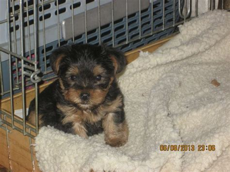 pedigree yorkie puppies for sale pedigree yorkie puppies for sale brandon suffolk pets4homes
