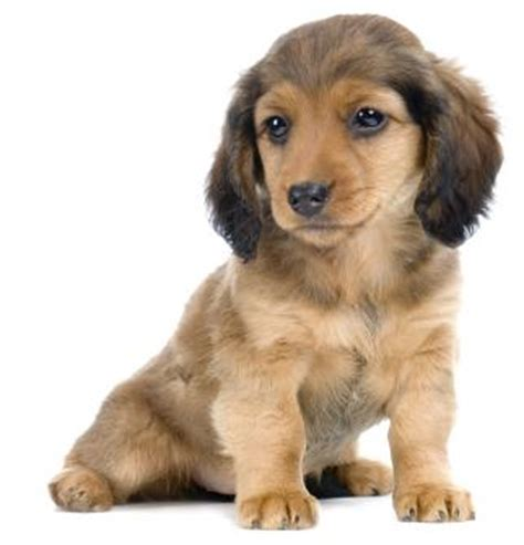 Free dachshund puppy 140 the dog wallpaper best the dog wallpaper