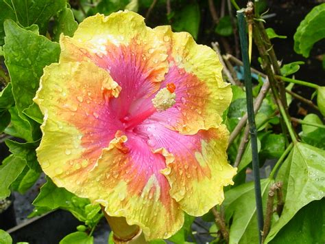 which state has a hibiscus 100 which state has a hibiscus hibiscus a tasty