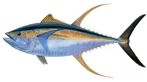 gambar ikan yellowfin tuna kumpulan gambar foto binatang hewan flora fauna