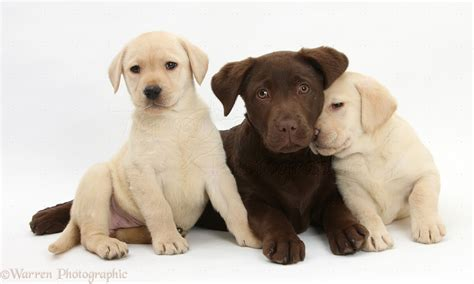 3 week lab puppies dogs chocolate and yellow labrador pups photo wp23041