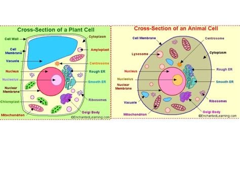 diagram of plant cell and animal cell plant cell and animal diagram 6877009 f520 jpg wiring