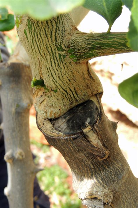 grafting fruit trees step by step grafting fruit trees a step by step picture tutorial