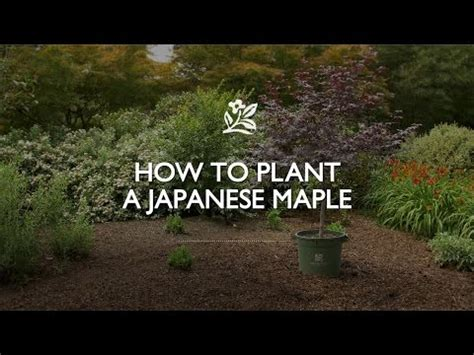 how to plant a japanese maple youtube