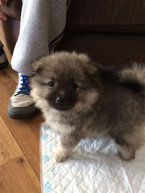 keeshond pomeranian mix pomeranian x keeshond puppy hereford herefordshire pets4homes