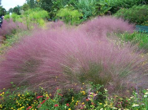 pink muhly grass frothy pink and deer resistant