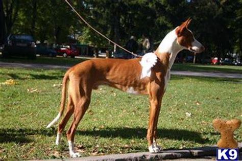 ibizan hound puppies for sale ibizan hound 1852