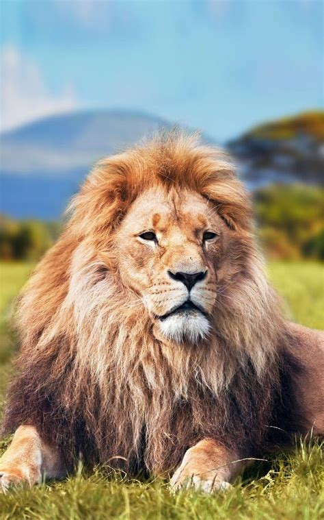 lion animation wallpaper hd  iphone   iphone