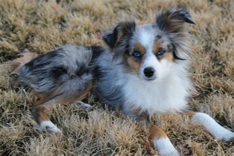 blue merle miniature australian shepherd puppies for sale lake front acres our mini aussie familythese dogs are my children and not for sale