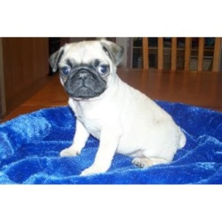 canadian pug breeders silvermist registered pugs pug breeder in chipman alberta listing id 18130