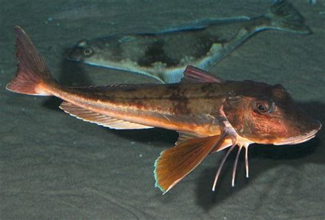 Come Cucinare La Gallinella Pesce - specie ittiche in cucina gallinella o cappone dentex