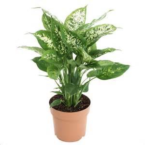 dieffenbachia plante 216 17cm h 30cm pot plantes vertes d