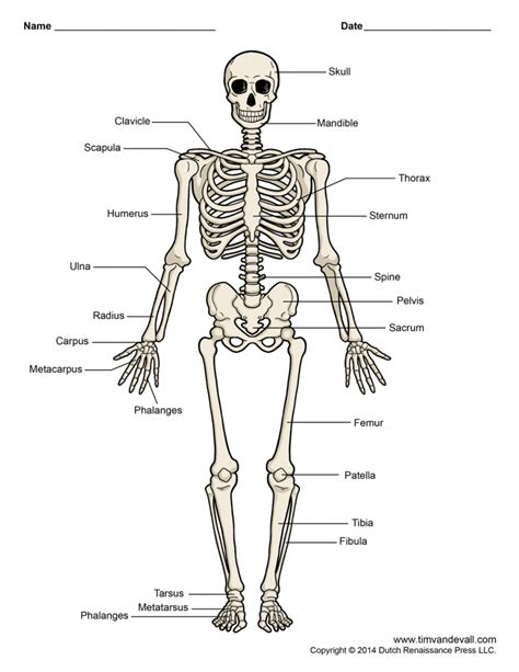 detailed skeletal system diagram quiz worksheet the skeletal system study photo