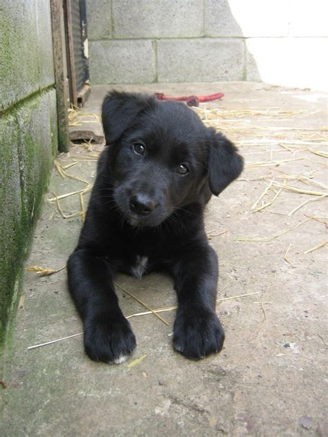 border collie lab mix puppies for sale lovely labradollie puppies lab x collie boston lincolnshire pets4homes