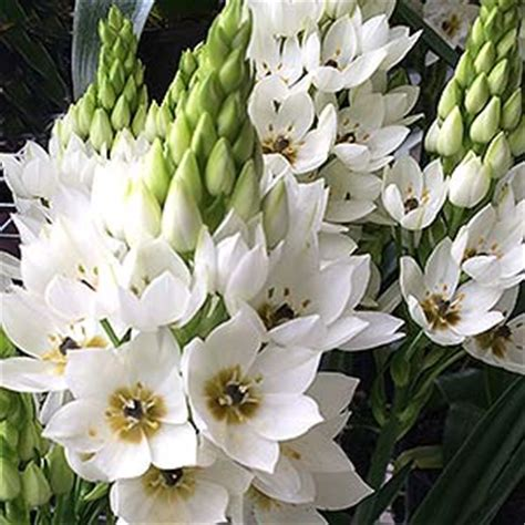 When Should I Plant Fruit Trees - ornithogalum plants and species nurseries online