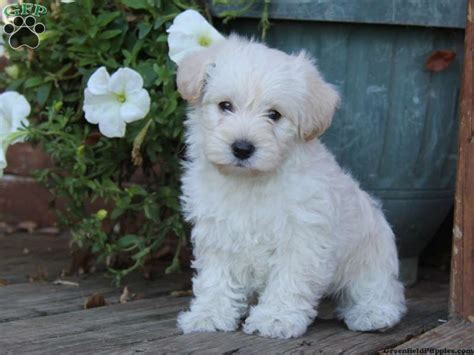 poo puppies for sale in pa westie poo puppies for sale greenfield puppies