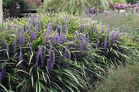 potatura piante da giardino liriope muscari piante da giardino