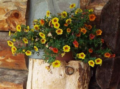 fiori petunie petunia petunia piante annuali come coltivare le petunie