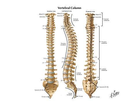 sections of the spine notes on anatomy and physiology the spinal column