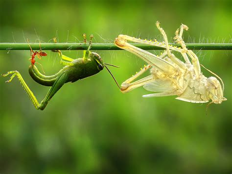 What Animals Shed Their Skin by Grasshopper Sheds Skin In A Replica Today