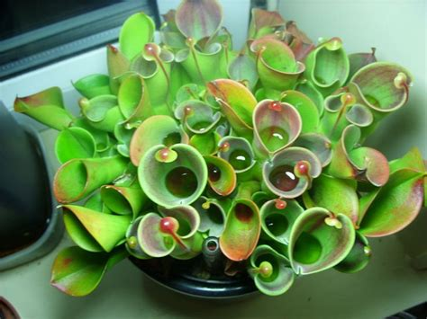 Plants For Windowsill by Carnivorous Plants Helihora Minor Windowsill Grown