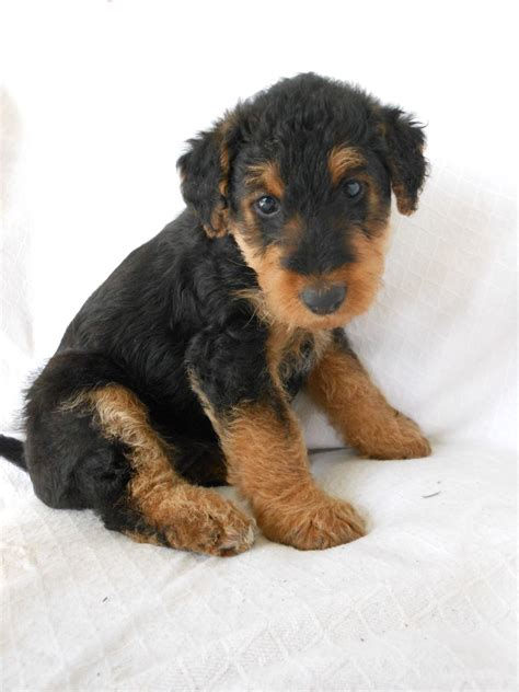 airedale puppies airedale terrier pups dogs and bitches inverness inverness shire pets4homes