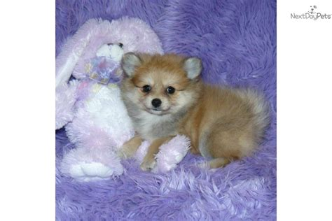 pomeranian puppies for sale in st louis pomeranian puppy for sale near springfield missouri 08c47879 3101