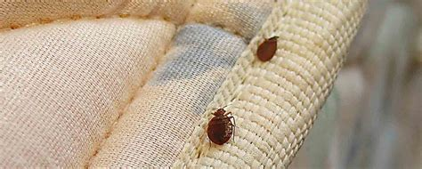 bed bugs wiki 100 bed bug wikipedia bed bugs in dogs ears feherje