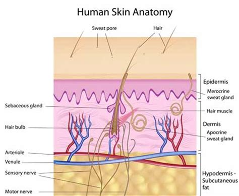 vertical section of human skin what is acne explain it to me like i m 5 edition