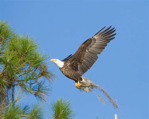 florida bald eagles outdoorlife photography