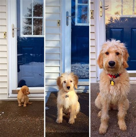 goldendoodle puppy growing up before and after of dogs growing up thechive