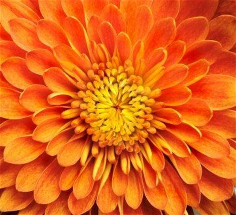 november flower 17 best ideas about november birth flowers on pinterest