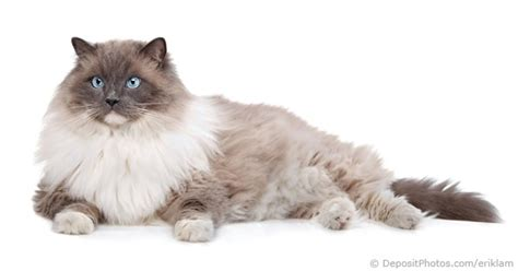 cat facts the pet parent s a to z home care encyclopedia books ragdoll cat