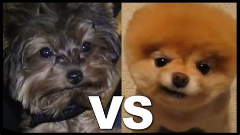 yorkie vs teacup yorkie teacup yorkie vs pomeranian cuter than boo the world s cutest pocket wearing a