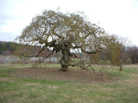 Benihbijibibit Japanes Pagoda Tree featured plant of the month weeping japanese pagoda tree bernheim arboretum and research forest