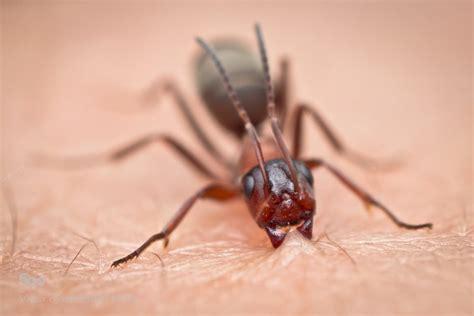 penanganan gigitan semut api  petualangan viapendaki