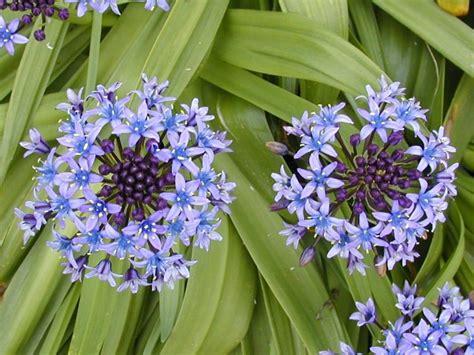 Fleurs Bleues Vivaces by Fleurs Vivaces Bleues