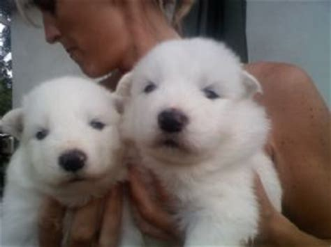 samoyed puppies for sale az samoyed puppies in pennsylvania