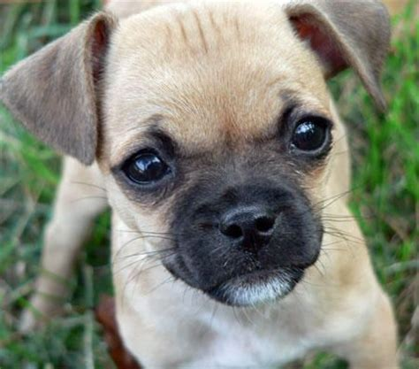 terrier pug mix 25 best ideas about pug chihuahua mix on pug mix chug and pug mixed